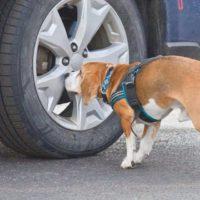 beagle nosework tire